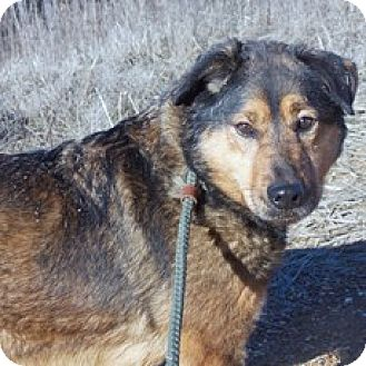 Australian Shepherd Mix Dog for adoption in Hatifeld, Pennsylvania - Lady Bug