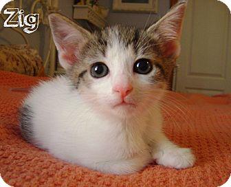 Domestic Shorthair Kitten for adoption in Covington, Kentucky - Zig
