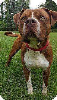 American Bulldog Mix Dog for adoption in Oakland, Michigan - PJ