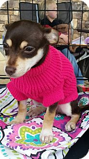 Chihuahua Mix Puppy for adoption in Gustine, California - MOCHA