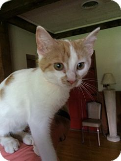 Domestic Shorthair Kitten for adoption in Salem, Ohio - sugar