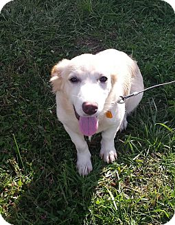 Corgi Mix Puppy for adoption in Owenboro, Kentucky - CLOUD