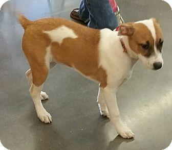 Husky/Border Collie Mix Puppy for adoption in Concord, North Carolina - Chloe