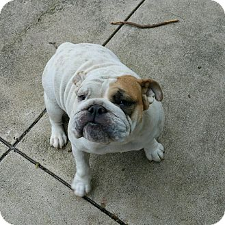 English Bulldog Dog for adoption in Columbus, Ohio - Shera
