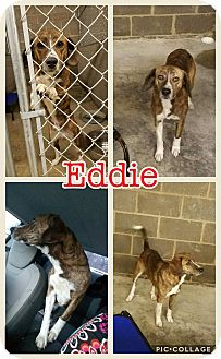 Beagle/Labrador Retriever Mix Dog for adoption in East Hartford, Connecticut - Eddie meet me 2/17