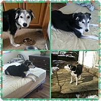 Labrador Retriever Mix Dog for adoption in Hicksville, New York - Midnight