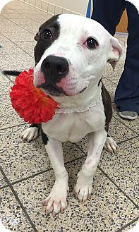 American Staffordshire Terrier/American Bulldog Mix Dog for adoption in Avon, Ohio - Bubbles