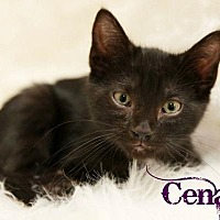 Adopt A Pet :: Cena Male Kitten - Knoxville, TN