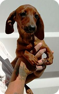 Dachshund Puppy for adoption in Las Vegas, Nevada - Luna