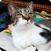 Domestic Shorthair Cat for adoption in Toronto, Ontario - Alex