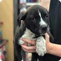 Adopt A Pet :: Charlie - Fresno, CA