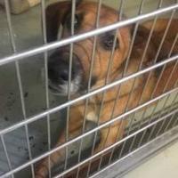 Labrador Retriever Mix Dog for adoption in Kiln, Mississippi - POPPY
