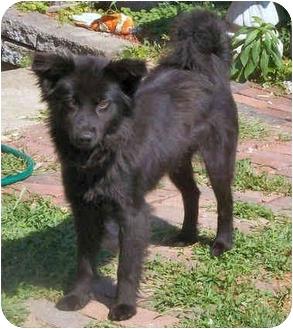 Collie/Schipperke Mix Dog for adoption in Latrobe, Pennsylvania - Jade