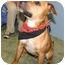 Photo 3 - American Staffordshire Terrier Mix Dog for adoption in Auburn, California - Rory