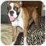 Photo 2 - Boxer Dog for adoption in Flint, Michigan - Brandy