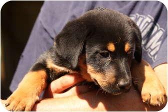 Rottweiler/Australian Shepherd Mix Puppy for adoption in Prince William County, Virginia - riley