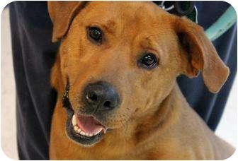 Labrador Retriever/Redbone Coonhound Mix Dog for adoption in Cincinnati, Ohio - Bailey: 1 year, Terrace Park