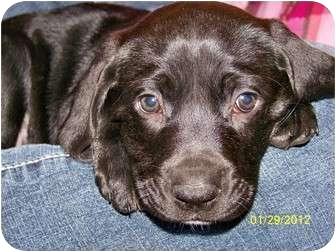 Labrador Retriever Mix Puppy for adoption in Roanoke, Virginia - Marge