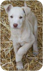 Border Collie/Labrador Retriever Mix Puppy for adoption in Allentown, Pennsylvania - Faith- all it takes