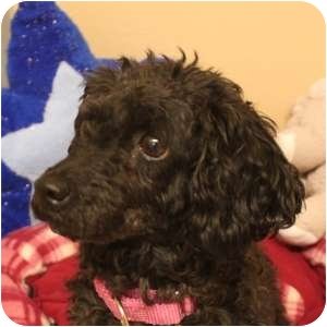 Poodle (Toy or Tea Cup) Dog for adoption in Naperville, Illinois - Coco