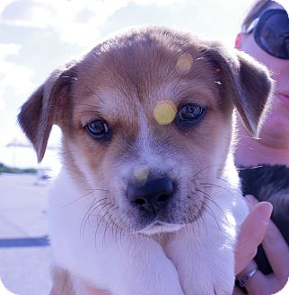 Terrier (Unknown Type, Medium) Mix Puppy for adoption in Largo, Florida - VINNIE
