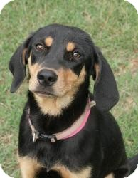 Black and Tan Coonhound Dog for adoption in Hagerstown, Maryland - Nadine