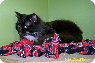 Domestic Longhair Cat for adoption in Dover, Ohio - Ceders