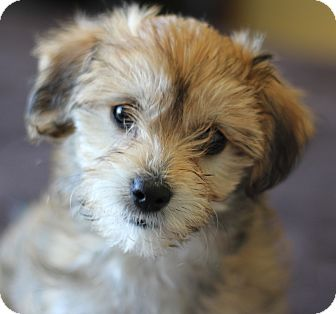 shih tzu mix rescue ju ju adopted puppy san pedro ca shih tzu maltese mix 7685