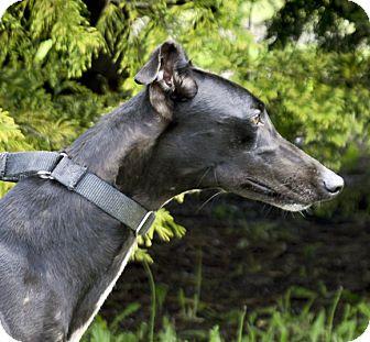 Greyhound Dog for adoption in Portland, Oregon - Finnie