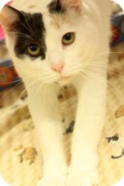 Domestic Shorthair Cat for adoption in Keller, Texas - Fiona