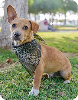 Corgi Mix Puppy for adoption in Long Beach, California - DANNY, watch my video!!