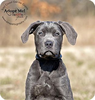 Cane Corso Puppy for adoption in Virginia Beach, Virginia - Louie
