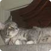 Domestic Shorthair Cat for adoption in Jacksonville, North Carolina - Lily