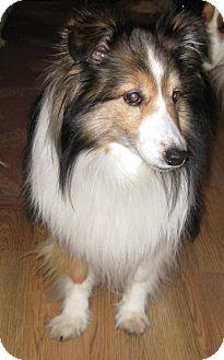 Sheltie, Shetland Sheepdog Dog for adoption in Charlottesville, Virginia - Cody