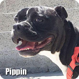Boxer/French Bulldog Mix Puppy for adoption in Encino, California - Pippin