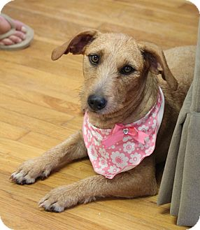 Wirehaired Fox Terrier/Dachshund Mix Dog for adoption in Chattanooga, Tennessee - Sandy