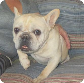 French Bulldog Dog for adoption in Greenville, Rhode Island - Buster