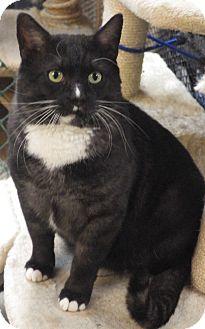 Domestic Shorthair Cat for adoption in Quail Valley, California - Tux
