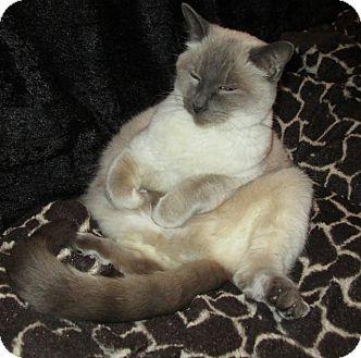 Tonkinese Cat for adoption in Gilbert, Arizona - Chloe