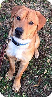 Golden Retriever/Hound (Unknown Type) Mix Dog for adoption in Attalla, Alabama - Sam