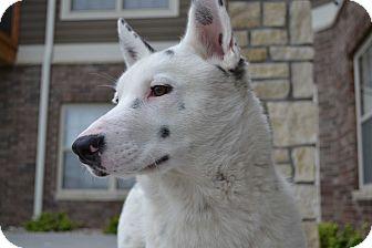 Cattle Dog Mix Dog for adoption in Manhattan, Kansas - Kaiser