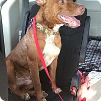 Adopt A Pet :: Duke-Adoption Pending - Fredericksburg, VA