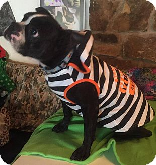 Boston Terrier Dog for adoption in Weatherford, Texas - Antonio