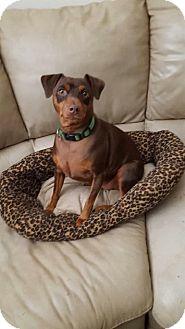 Miniature Pinscher Dog for adoption in Kansas city, Missouri - Bella
