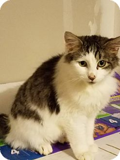 American Shorthair Cat for adoption in Idaho Falls, Idaho - Tigger