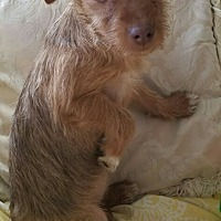 Silky Terrier Mix Puppy for adoption in Monrovia, California - Rosa