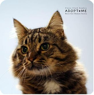 Domestic Mediumhair Cat for adoption in Edwardsville, Illinois - Nigel