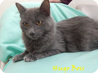 Domestic Longhair Cat for adoption in Bucyrus, Ohio - Hugo Boss