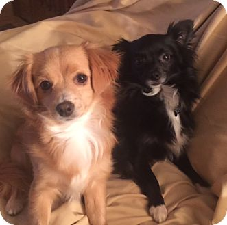 Chihuahua Mix Dog for adoption in San Leandro, California - Jill