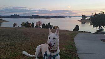 German Shepherd Dog Dog for adoption in Roswell, Georgia - Maddie (Guest)
